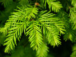 evergreen leaves